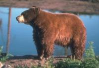 Bears Follow their Noses, so You Should Follow these Tips